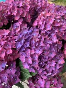 紫陽花「ディープパープル」